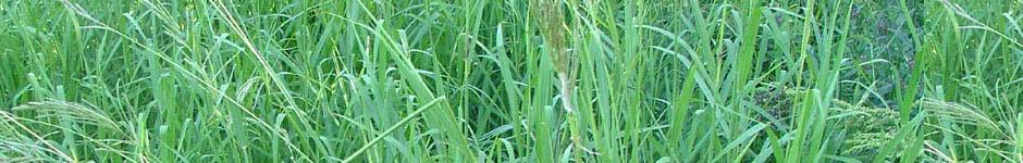 דשא פספלום, דשא פספלום מחיר