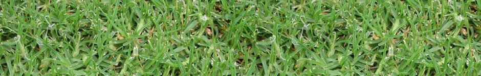 דשא קוקויה, דשא קיקויו